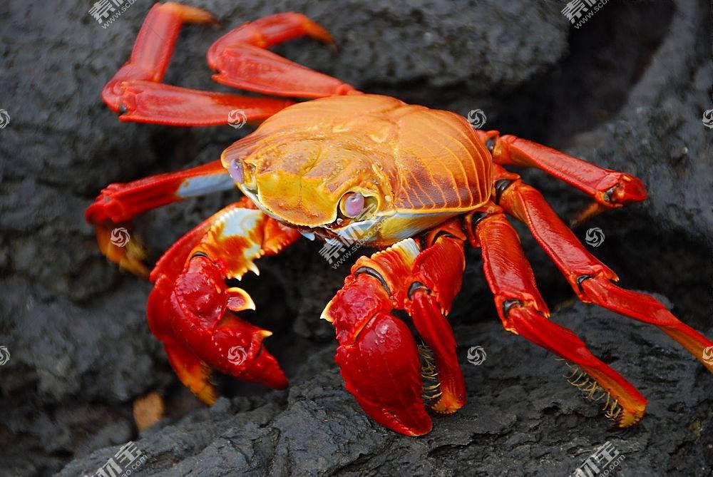 螃蟹,动物,性质,Grapsus,甲壳类动物395520
