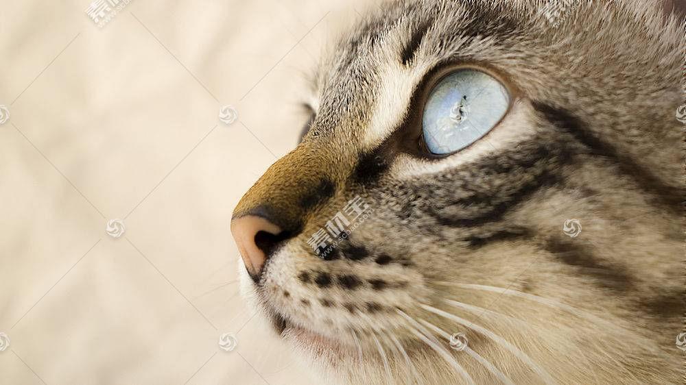 猫,蓝眼睛,晶须,动物481050