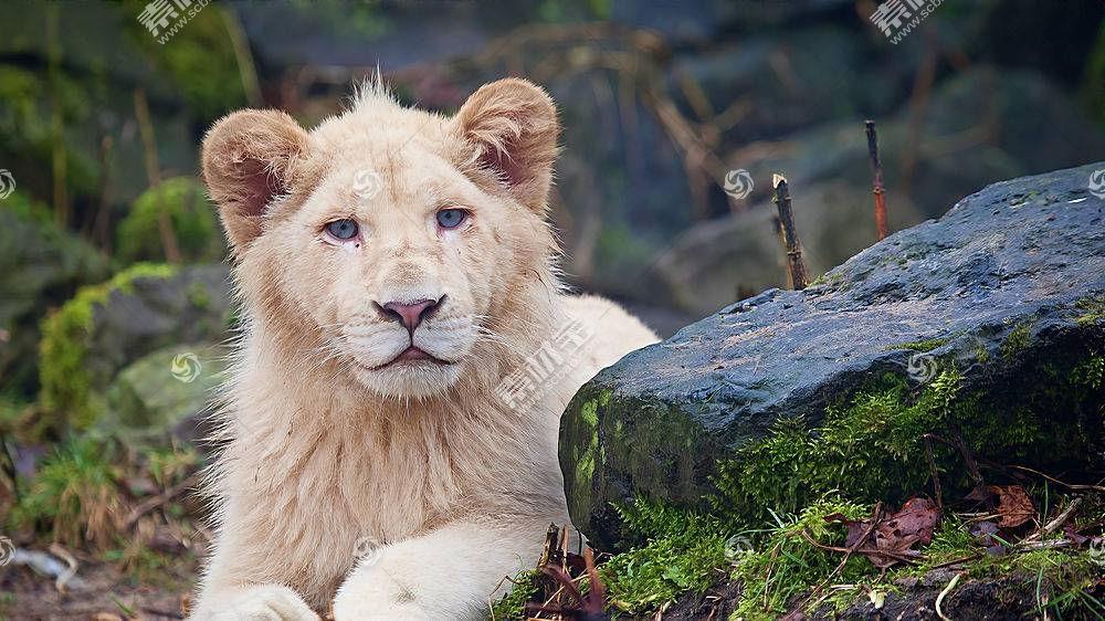 猫的,动物,哺乳动物,大猫,狮子388669