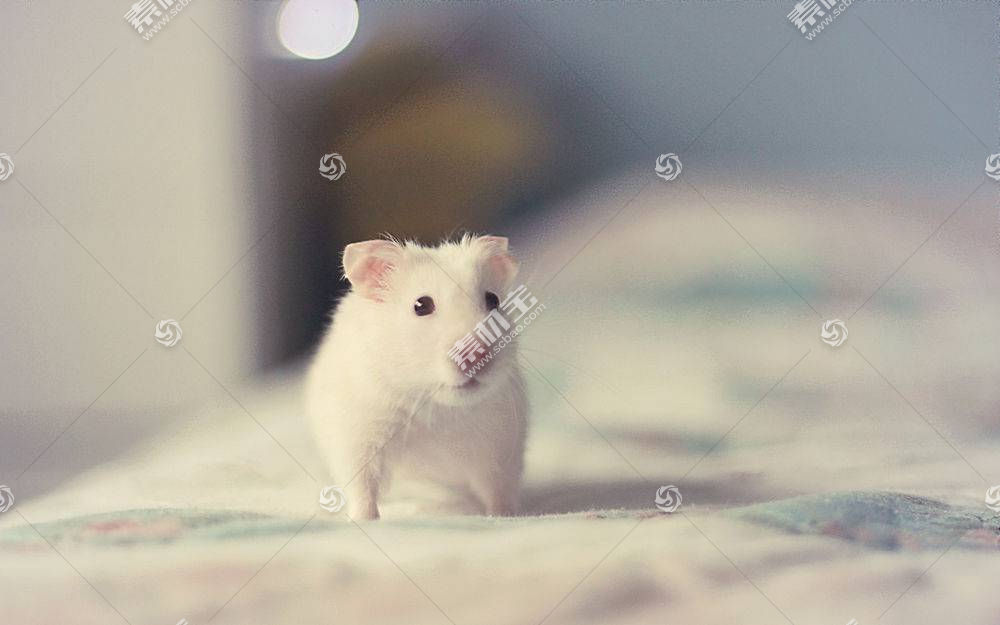 仓鼠,啮齿动物,动物66098