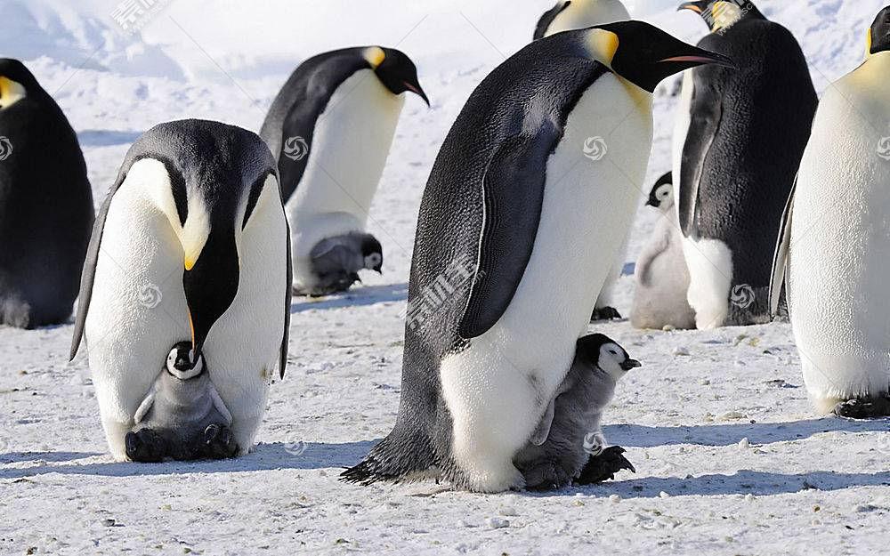 动物,企鹅,性质,鸟类,小动物105667