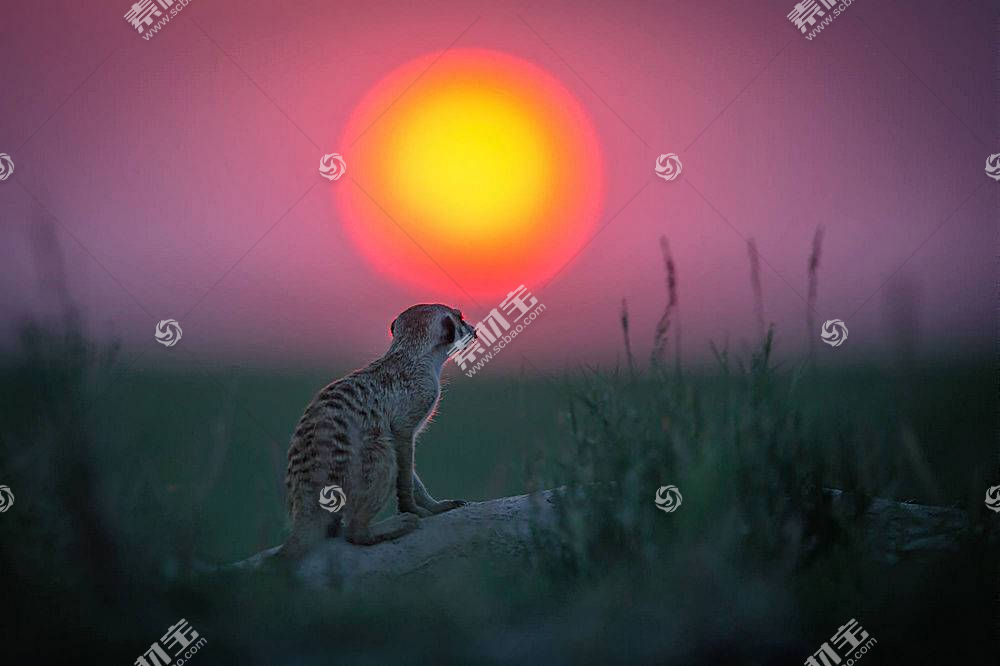 动物,太阳,猫鼬,景深350579