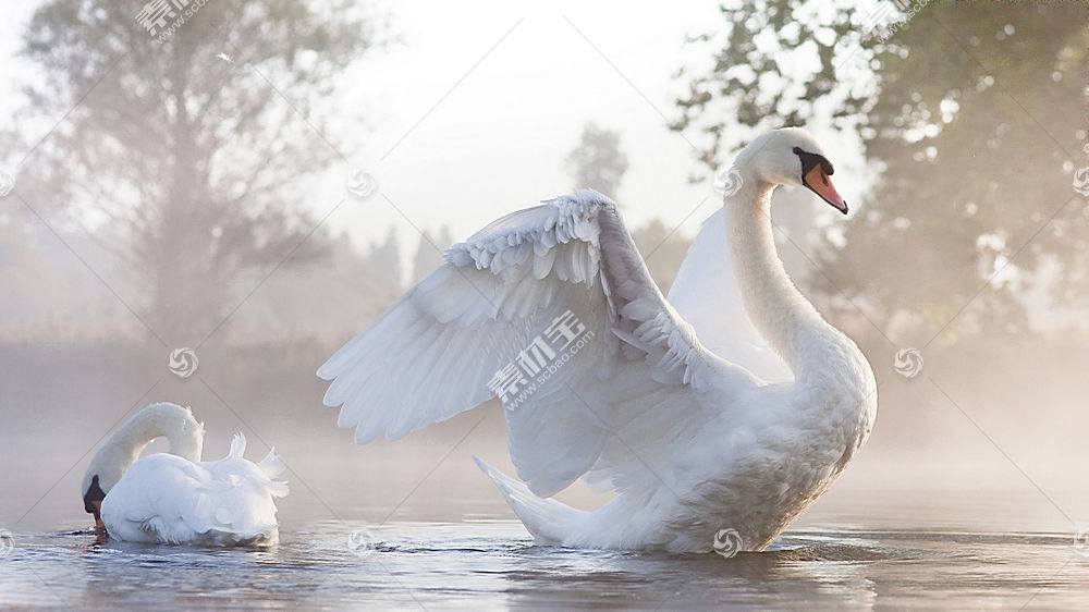 动物,天鹅,鸟类,阳光,水,性质226876