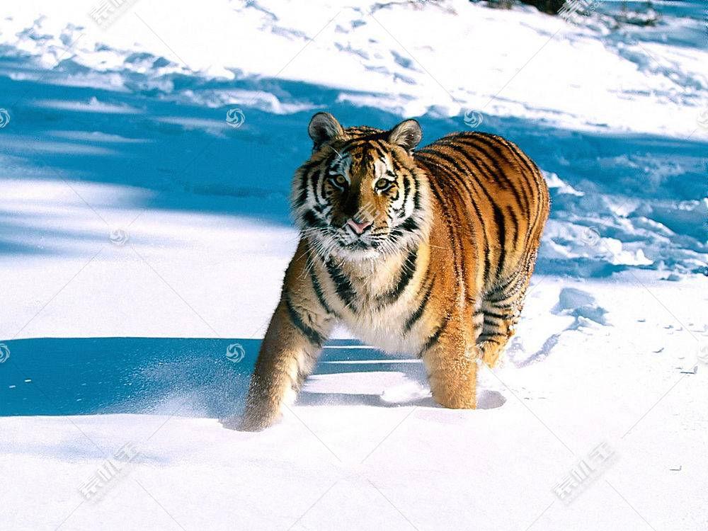 虎,动物387199