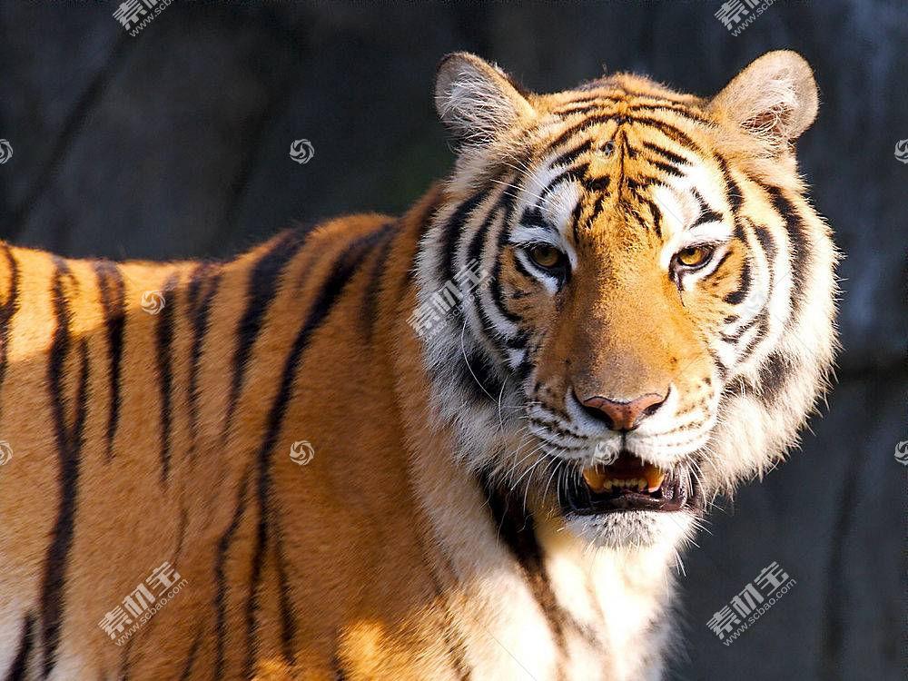虎,动物387200