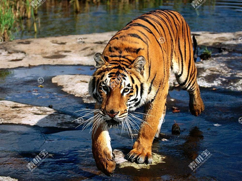 虎,动物387202
