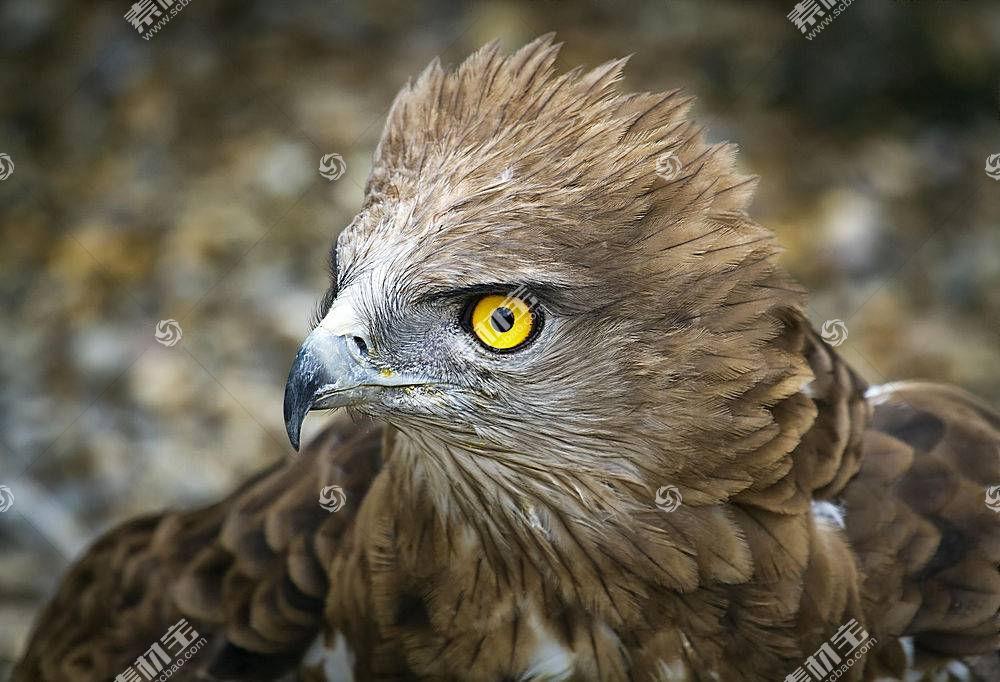 鹰,性质,动物,鸟类575498