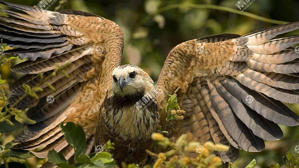 鹰派,动物,鸟类,性质,翅膀528181