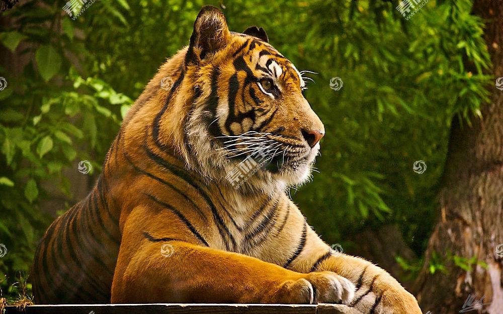 虎,动物489879