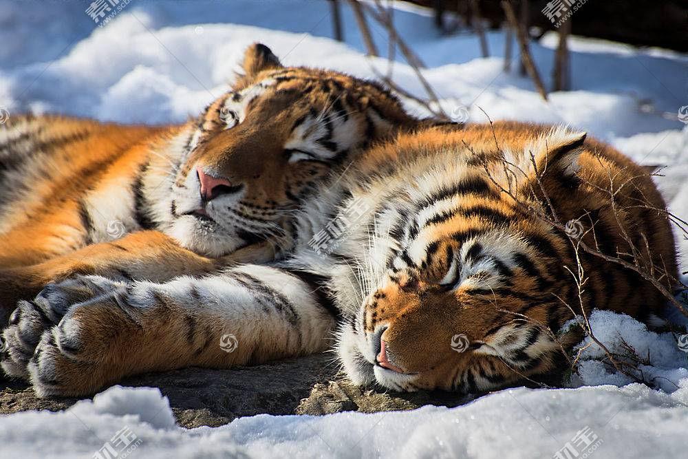 虎,睡眠,放松,动物,雪,大猫602880