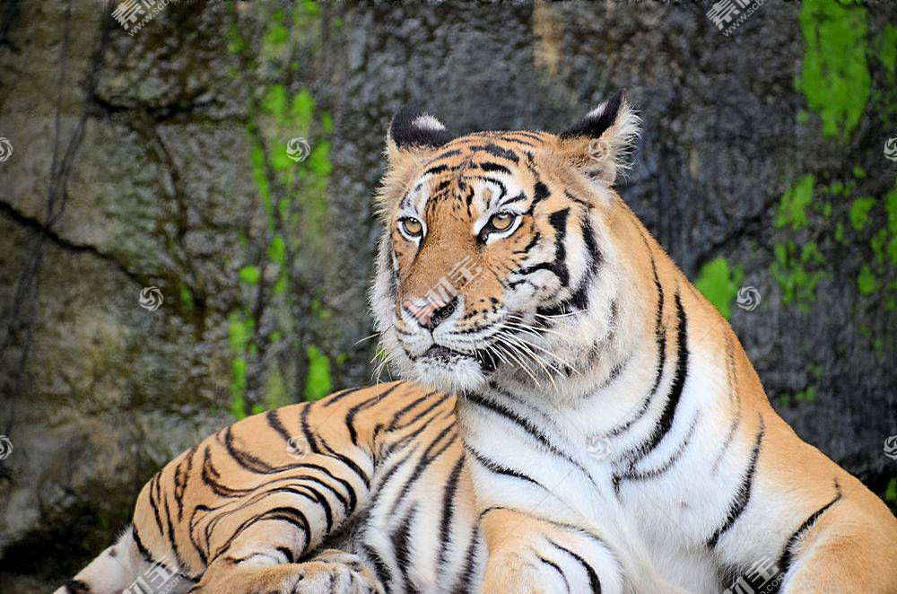 虎,野生动物,性质693007