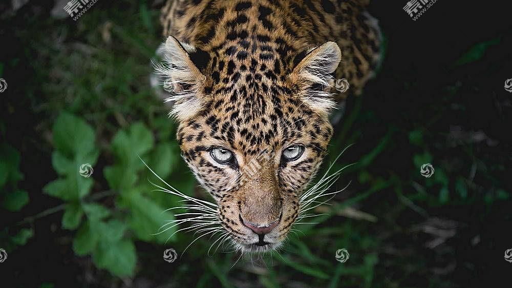 豹,大猫,枪口,看着观众,顶视图,野生动物,动物689285