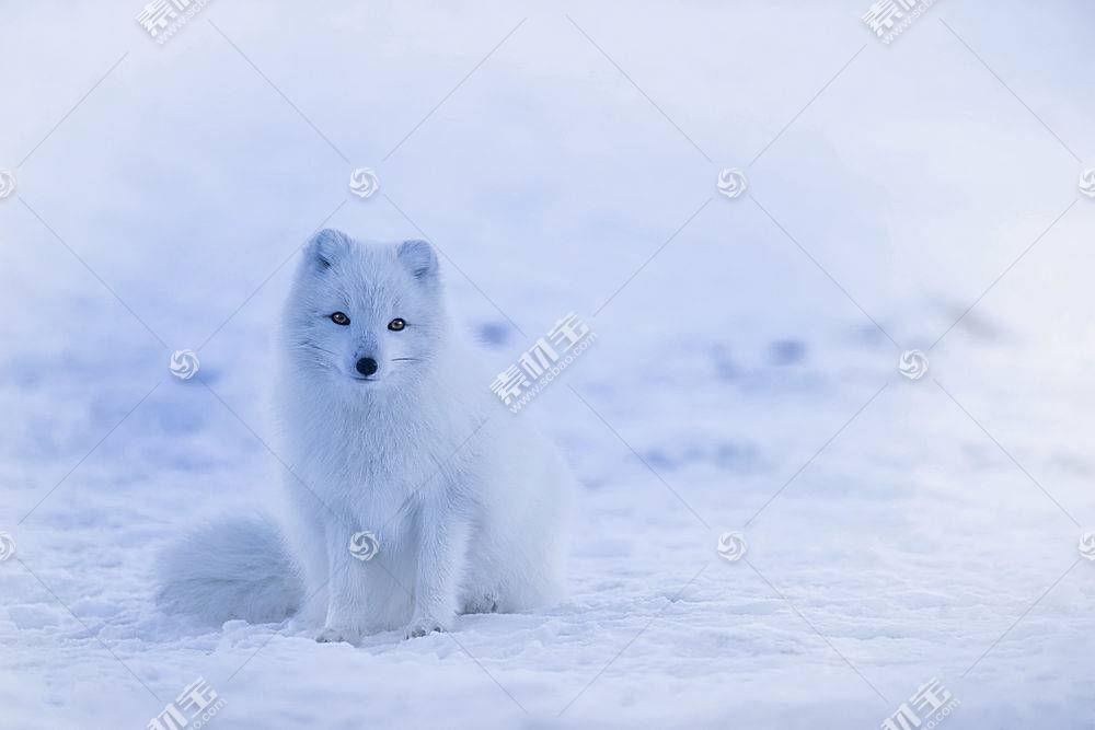 白狐,雪,动物,狐狸582212
