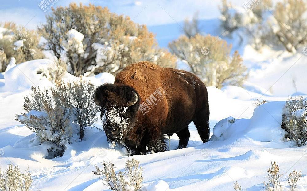 野牛,雪,动物,性质469822