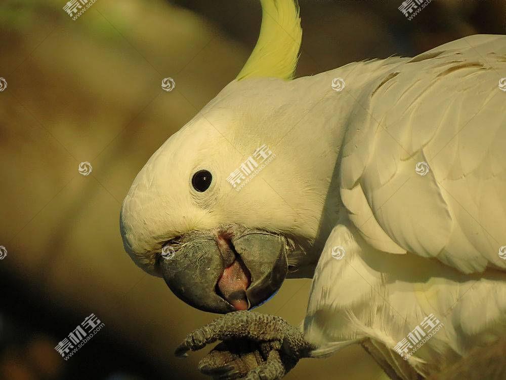 野生动物,鸟类,动物,鹦鹉,硫磺凤头鹦鹉427279