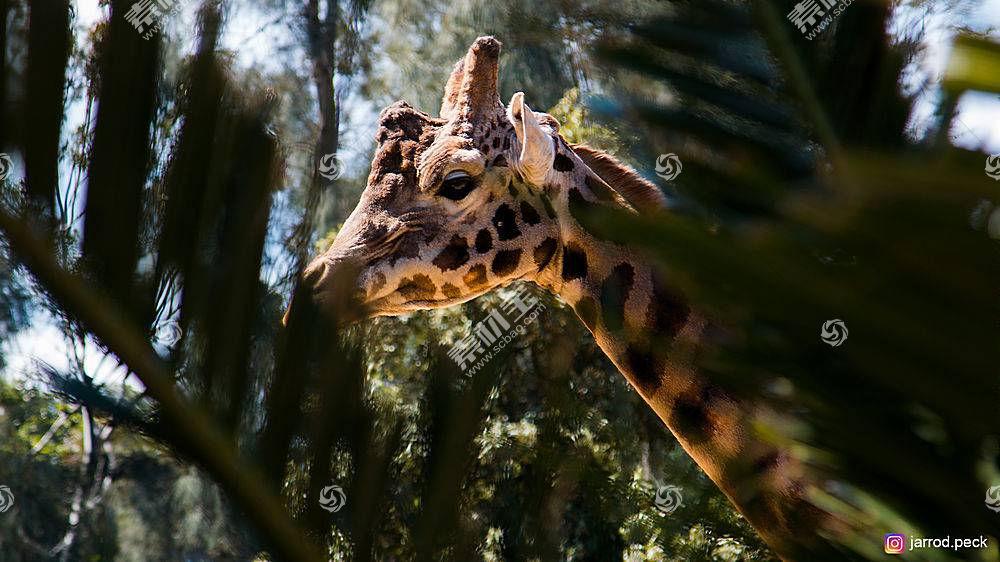 长颈鹿,动物,野生动物623968