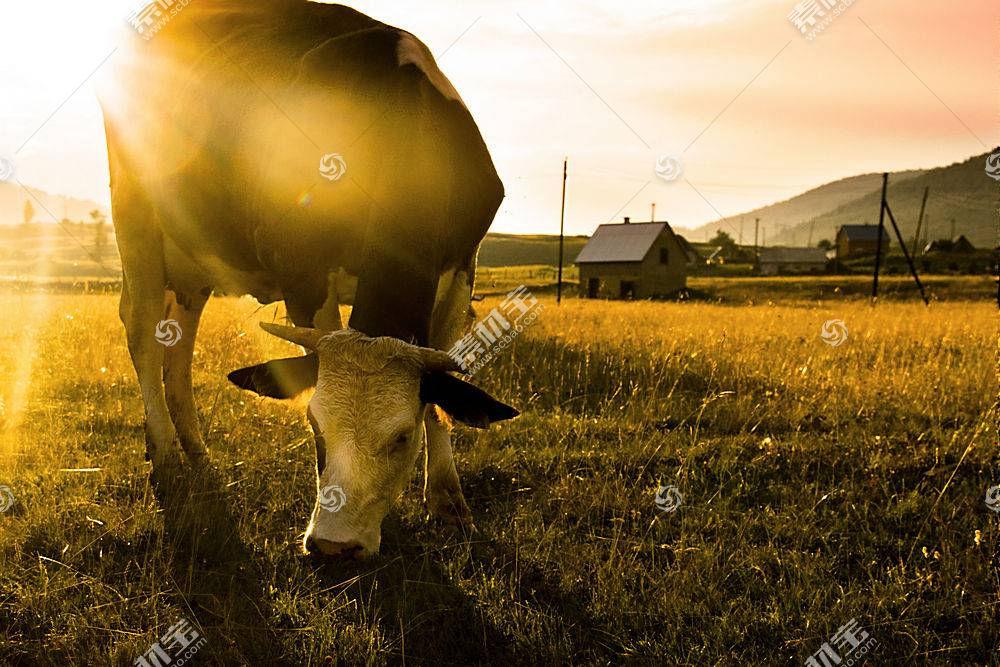 阳光,领域,牛,动物553210