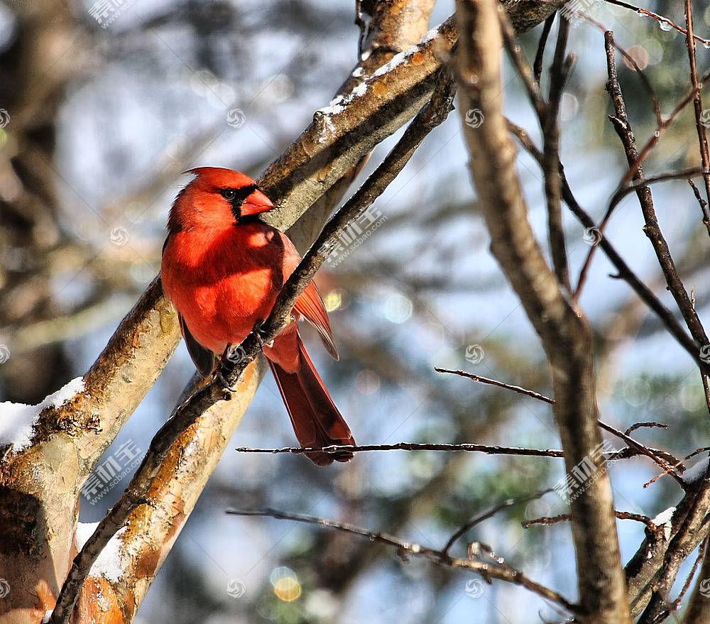 雪,冷,动物,鸟类,红雀473106