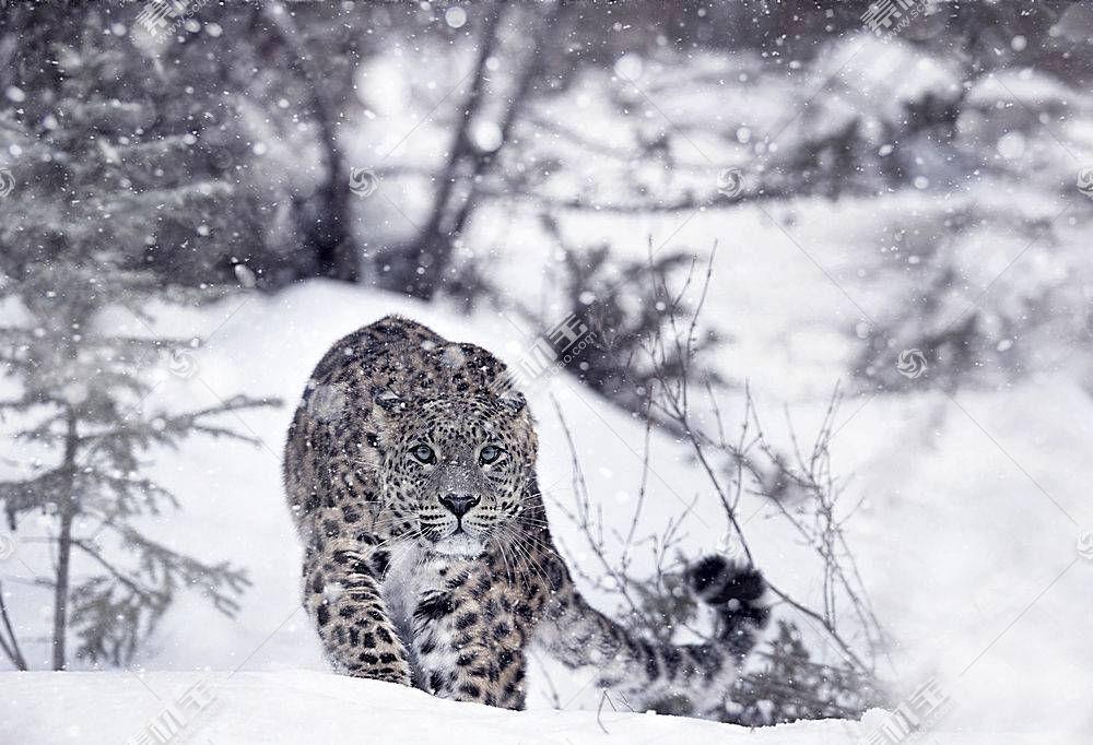 雪豹,冬季,雪,动物622615