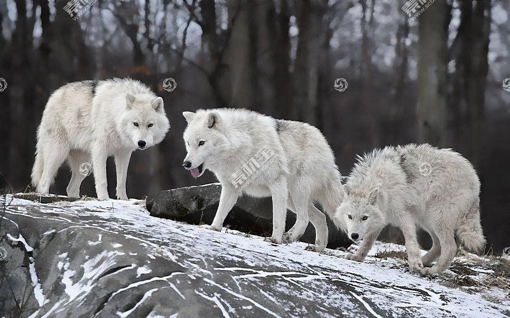 狼,性质,野生动物492056
