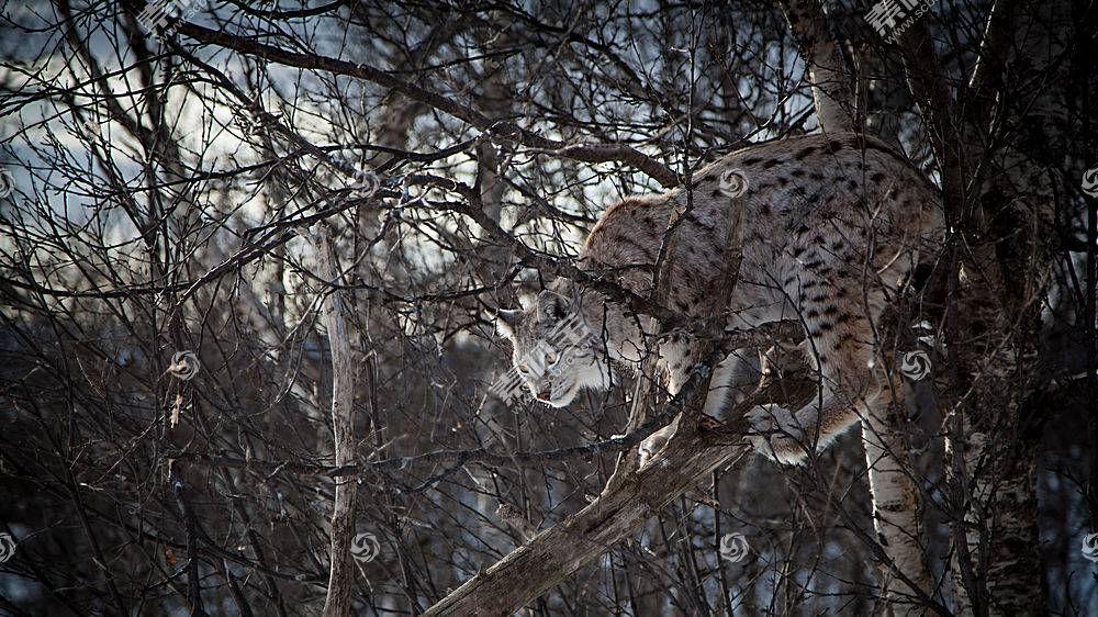 猞猁,科,大猫,树木,动物689951