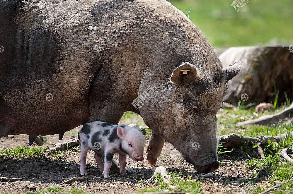猪,动物,小动物394405