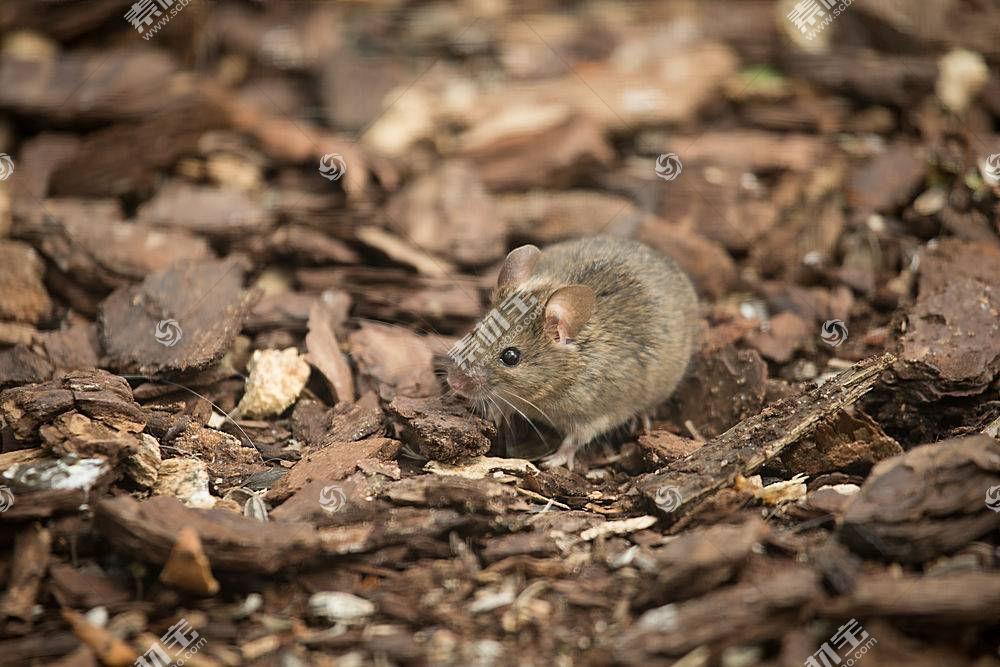 老鼠,动物,哺乳动物,性质376809