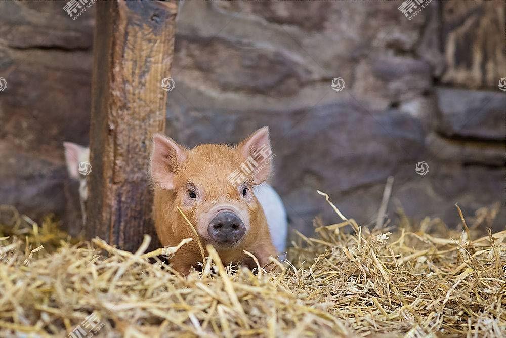猪,动物578324