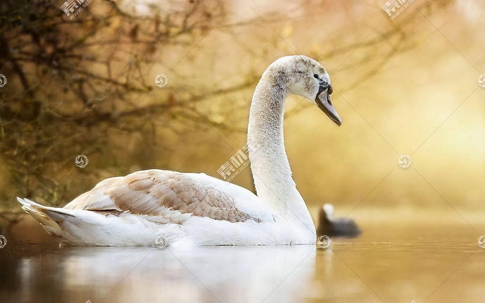 鸟类,天鹅,动物458529