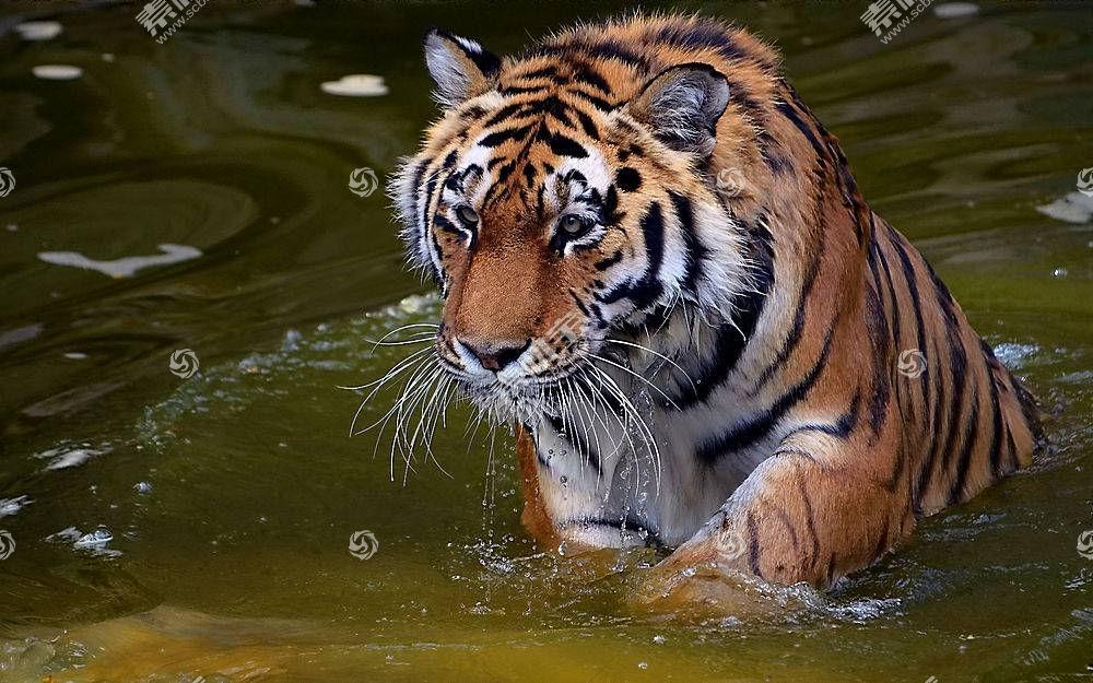 虎,动物,水,大猫381706