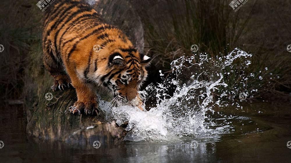 虎,动物,水382536