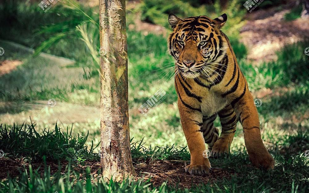 虎,动物376125