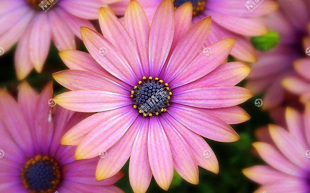 46291,地球,非洲的,雏菊,花,粉红色,花,雏菊,壁纸图片
