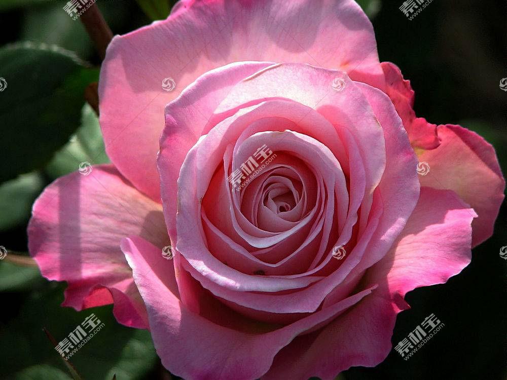 65612,地球,玫瑰,花,壁纸图片