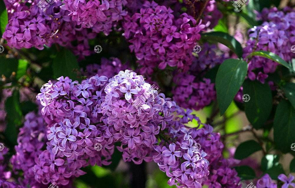 65627,地球,淡紫色,花,壁纸图片