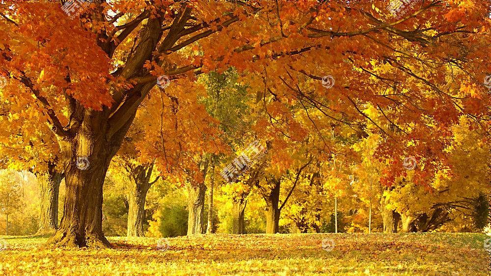 秋天金色树叶壁纸图片