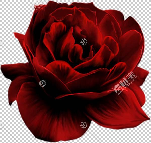 粉红色花卡通,粉红色家庭,蔷薇,花瓣,floribunda,关门,玫瑰秩序,