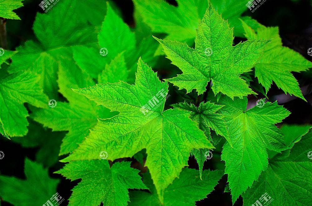 地球,叶子,枫树,叶子,绿色的,特写镜头,壁纸,