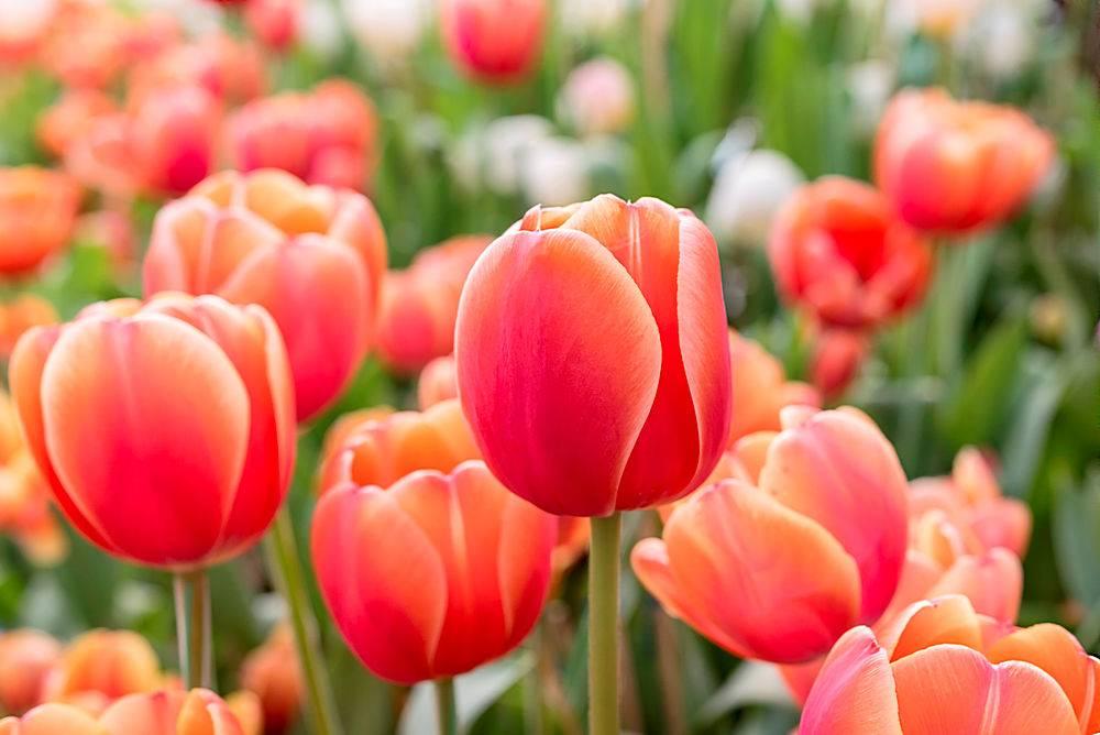 罗勇春季花坛里的红橙色郁金香_113126101