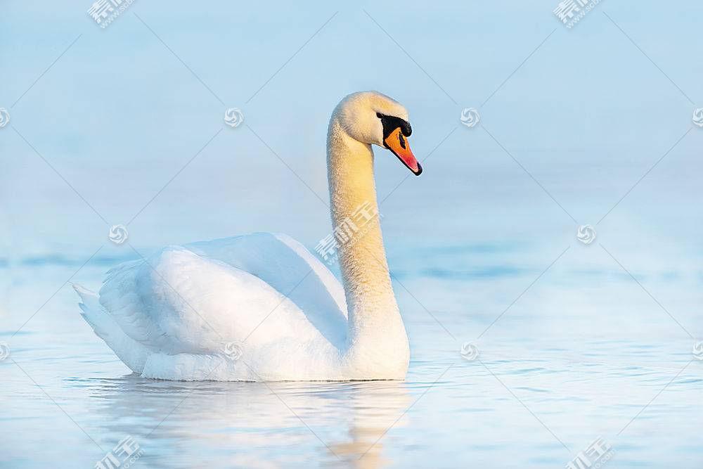 优雅的天鹅