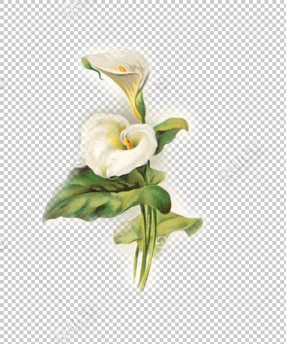百合Arum,百合复活节花卉图案,百合PNG剪贴画插花,白色,人造花,贺