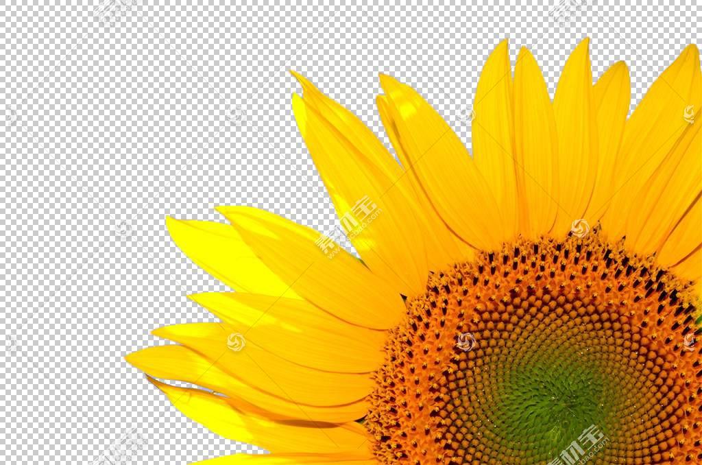 学童,雏菊家庭,花,黄色,花瓣,向日葵,关门,花粉,葵花籽,业务,能源