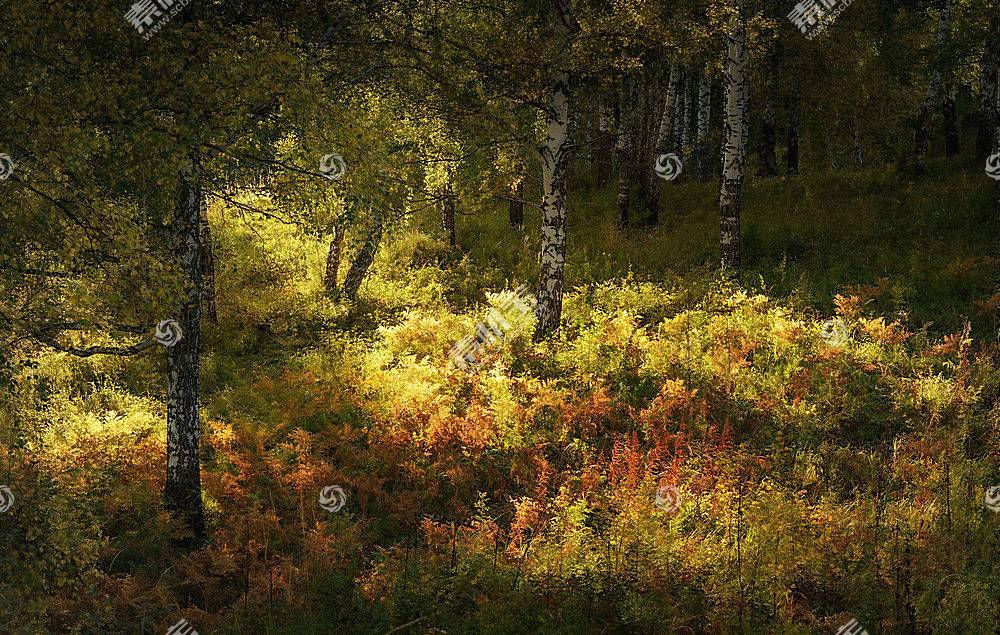 地球,桦树,秋天,森林,草,树,快活的,自然,壁纸,图片