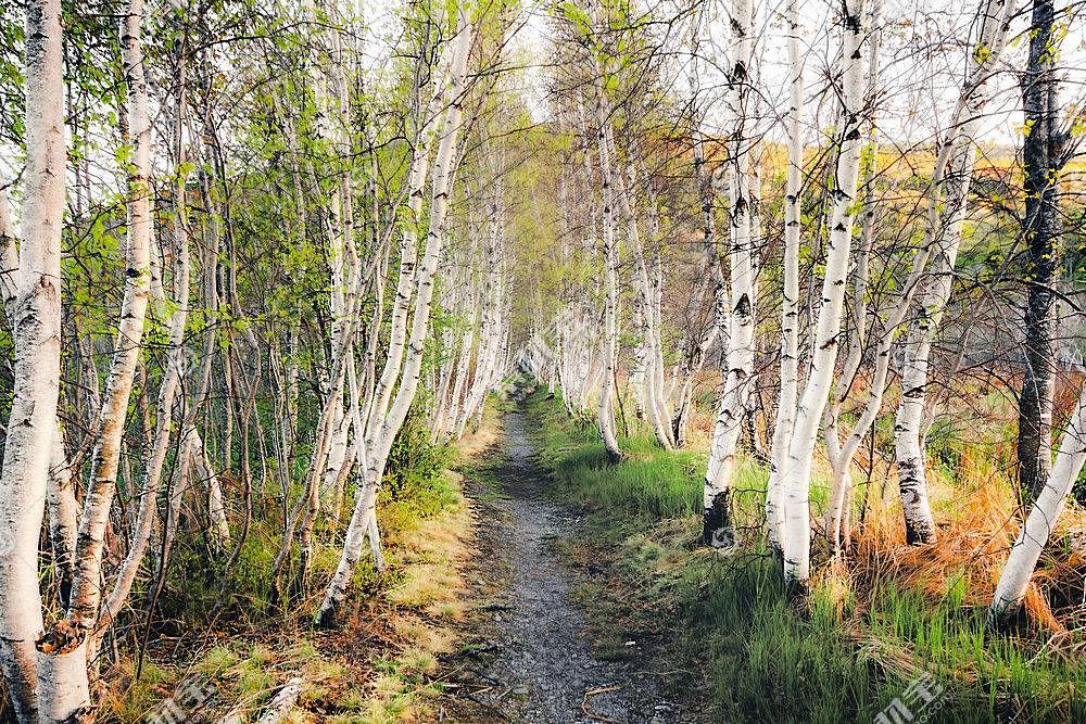 地球,桦树,自然,森林,小路,树,壁纸,图片