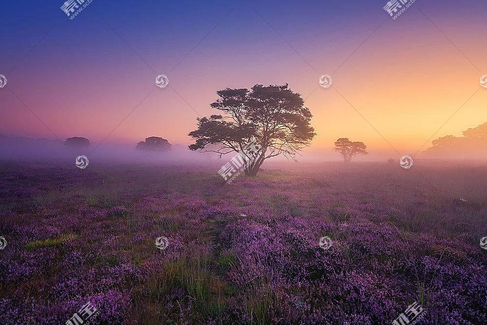 雾,自然,树,花,紫色,花,壁纸,图片