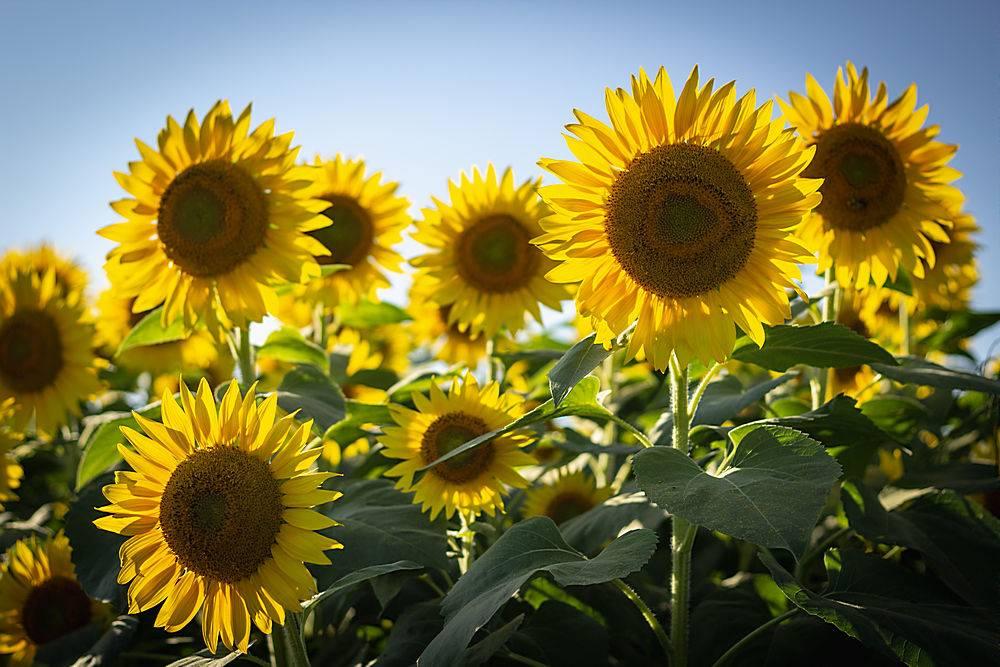 向日葵地里美丽的向日葵特写_805473201