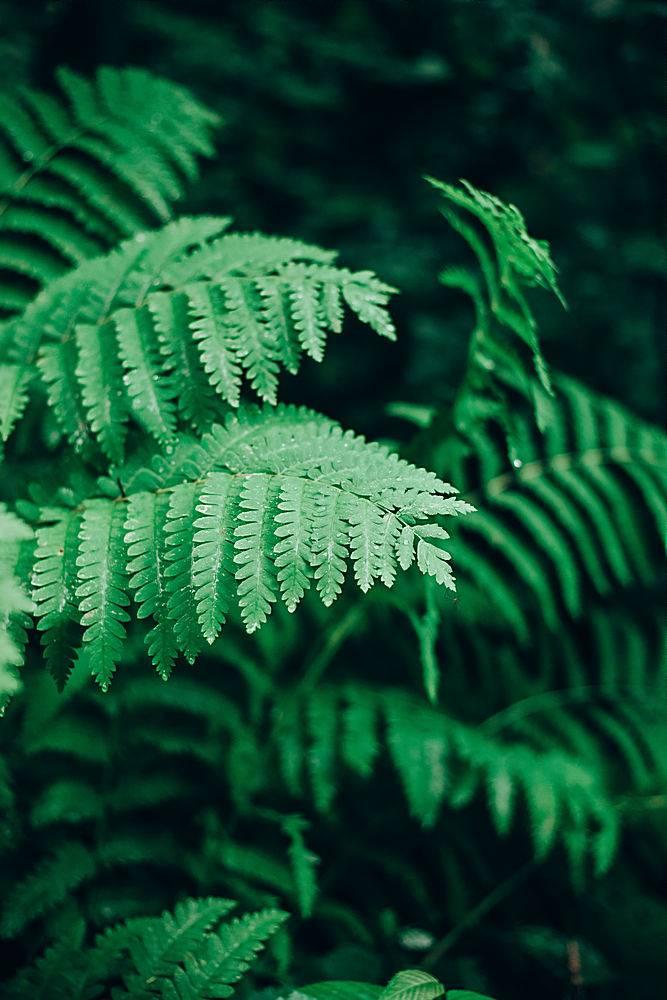 森林中沾有露水的野生蕨类树叶的特写_1075893801