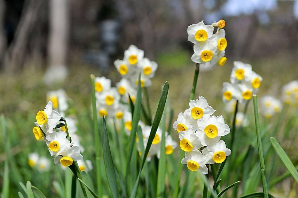 水仙花盛开的特写_93724101