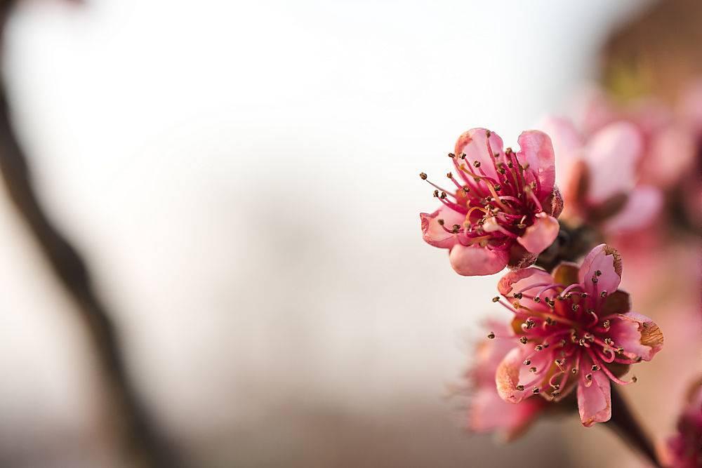 在阳光明媚的日子里花园里绽放着美丽的樱_1232817401