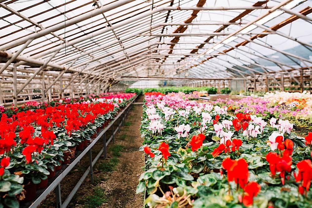 温室里开着美丽的粉红色和红色的花_335593801